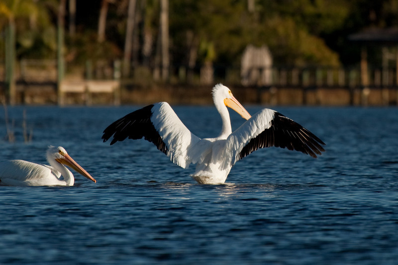 The White Pelicans also got the word that the fishing was fantastic so they flew in as well.