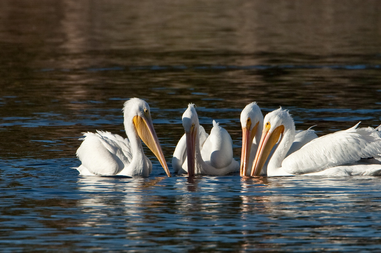 These White Pelicans convened to plan their strategy for fishing.
