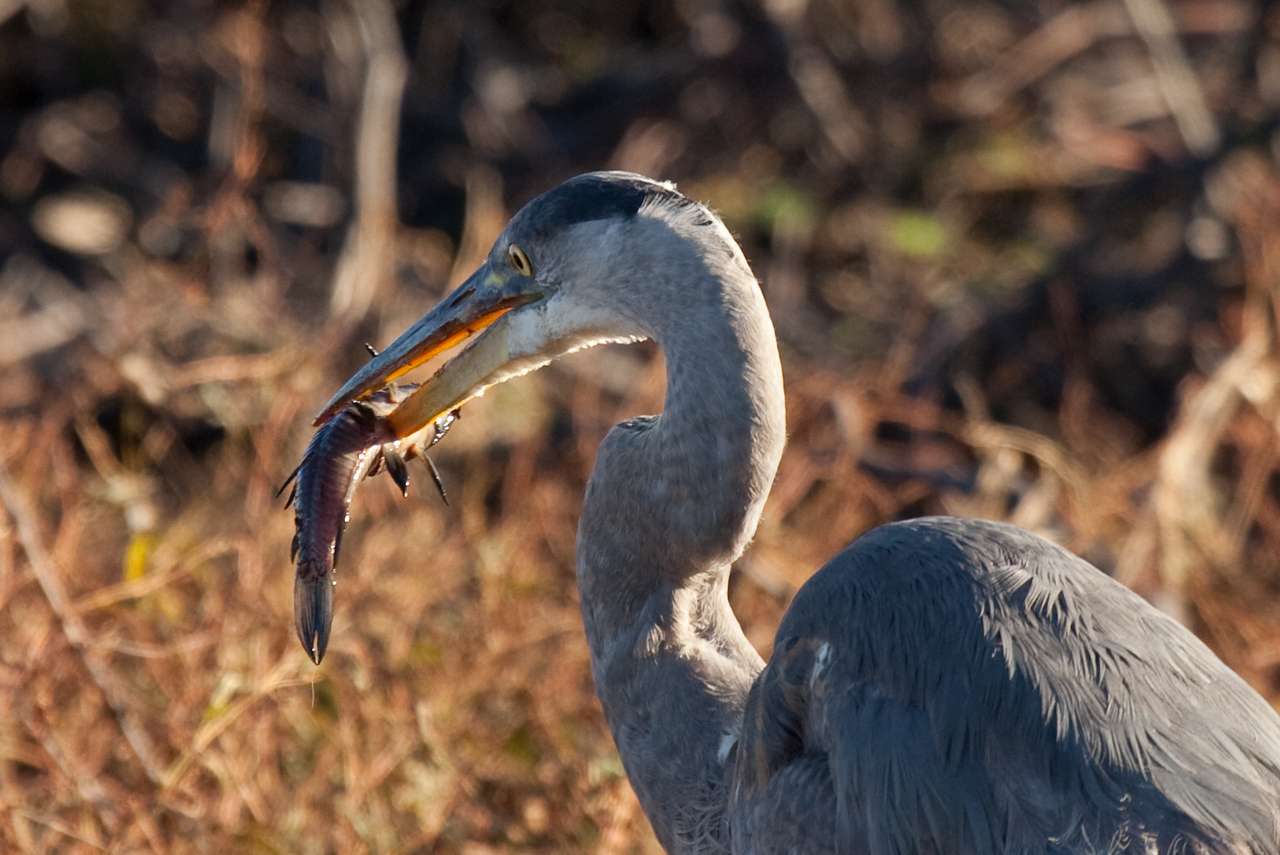 Also at Paynes Prairie Preserve this Great Blue Heron showed us how she spears fish.