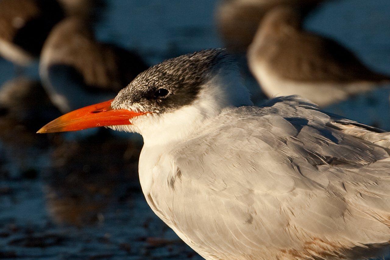 Here's a Royal Tern feeding in the shallow lagoon next to the Kennedy Space Center.