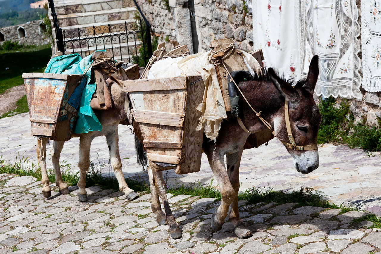 Mules hauling debris from a construction site in Kruje, Albania