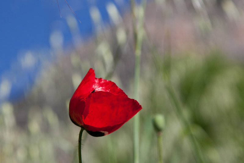 Poppy at Delphi