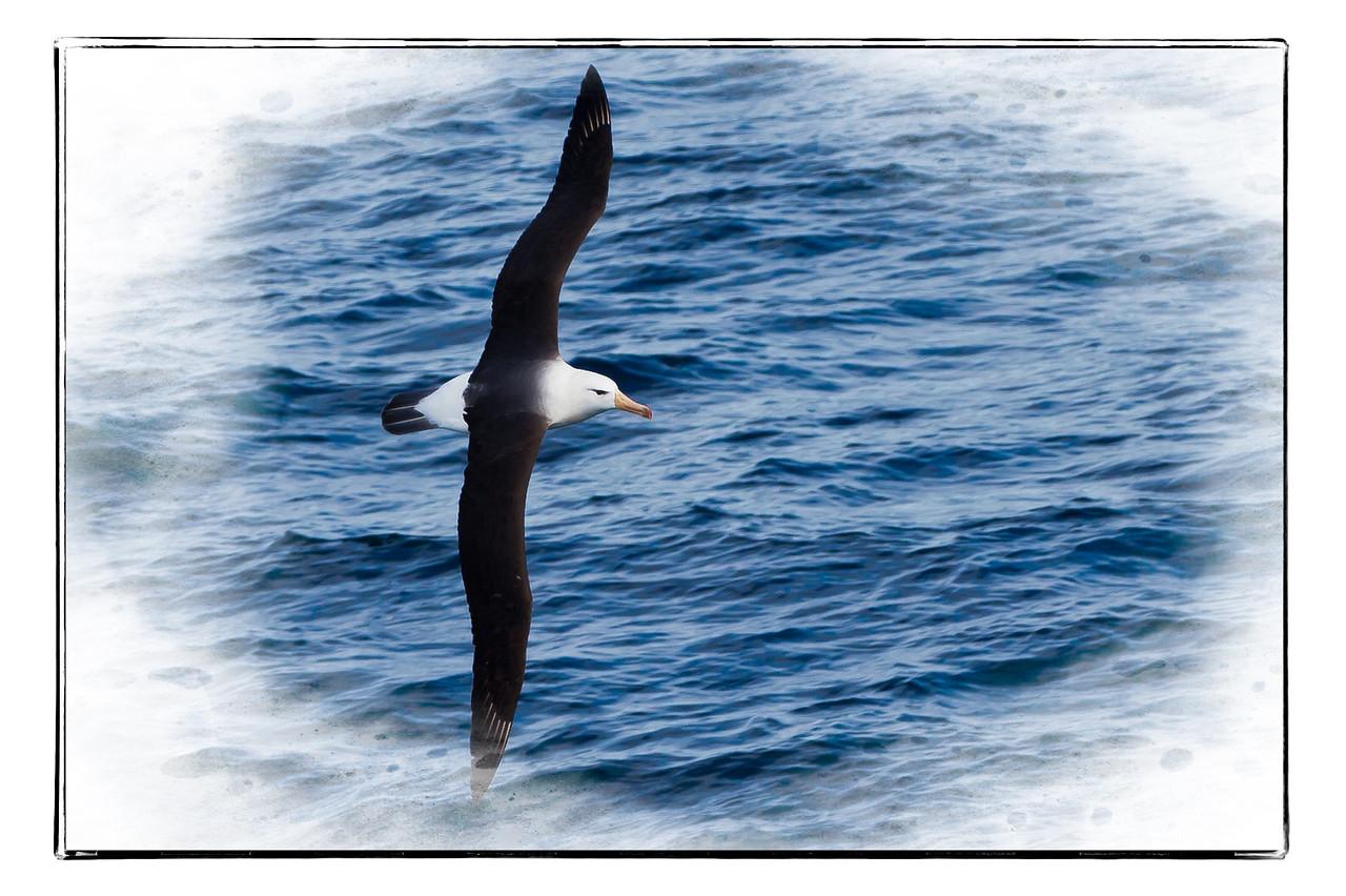 Black-browed albatross skimming along the water.