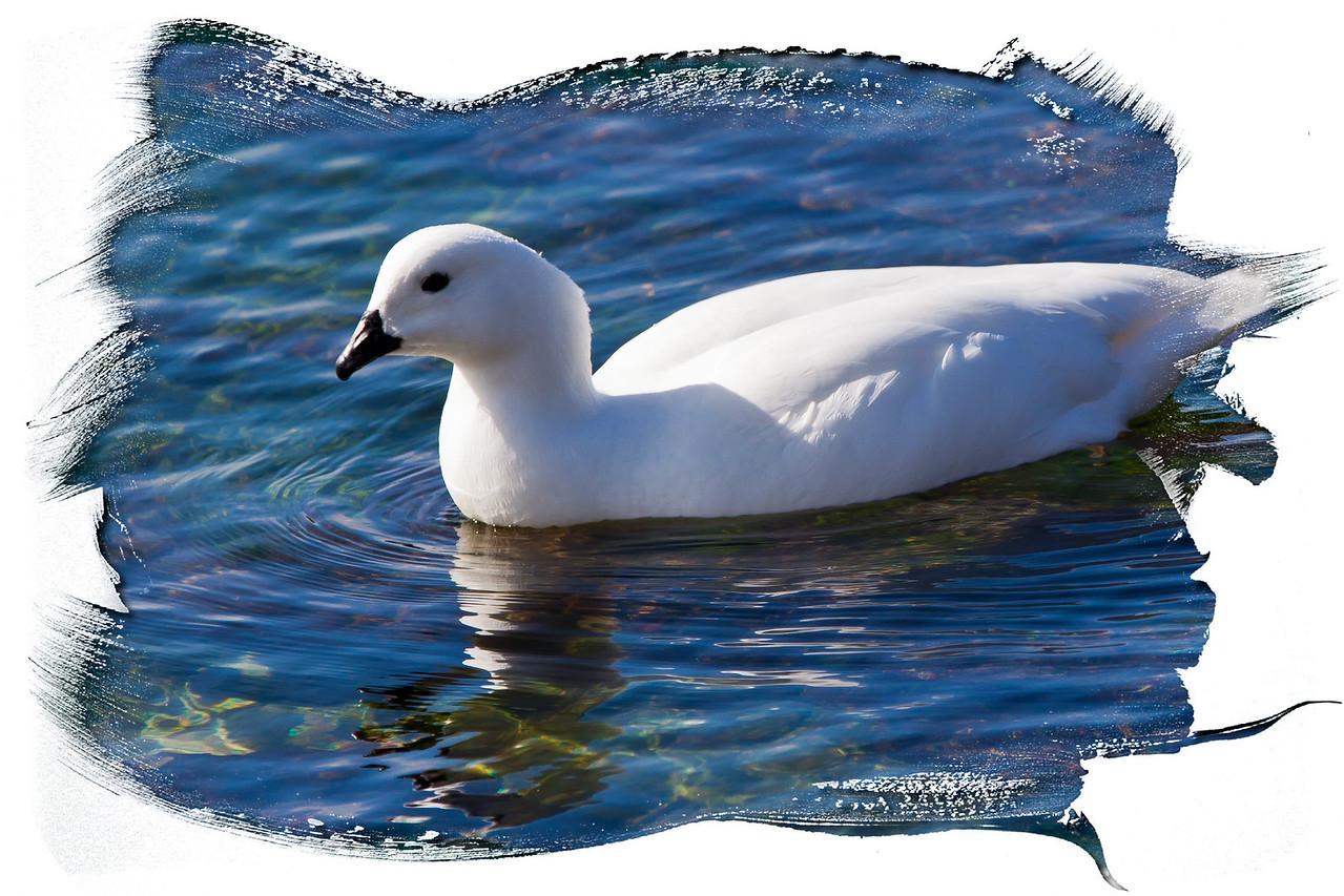 Female greater kelp goose