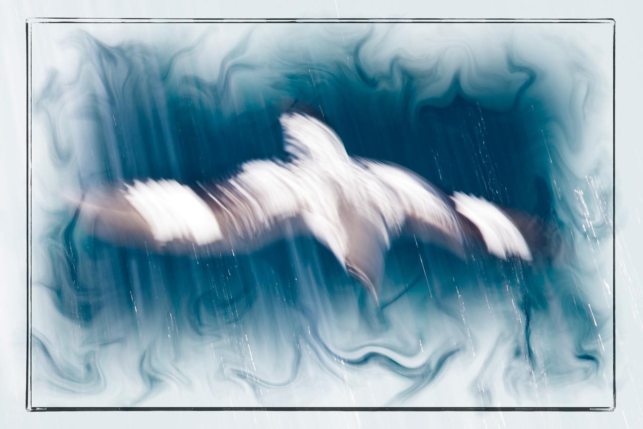 A speedy cape petrel.