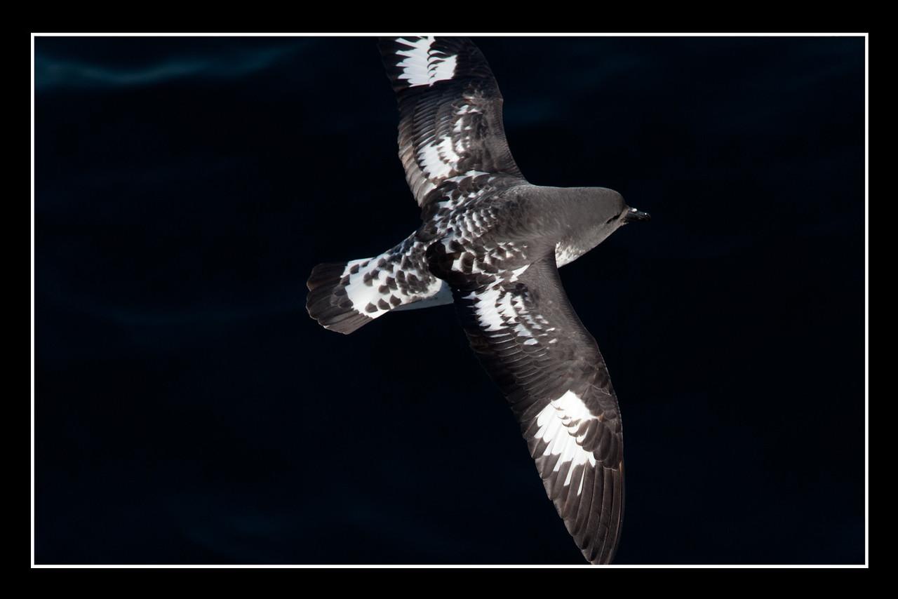 Many sea birds followed the ship. This is a cape petrel.