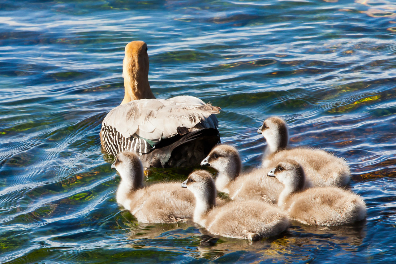 Mama greater upland goose taking her chicks out for a short swim.