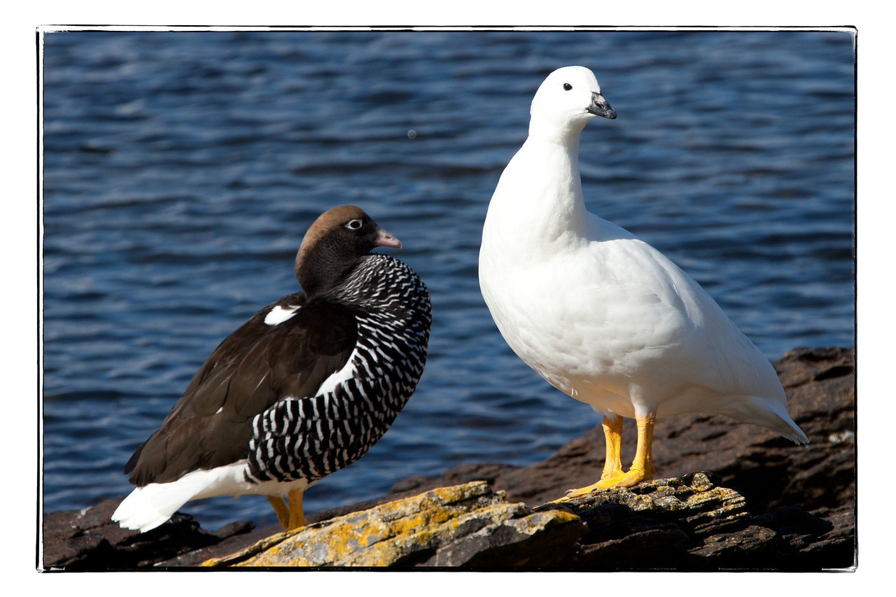 Here you can see the difference readily -- male greater kelp goose on the left and female on the right.