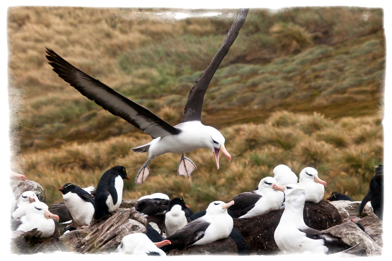 Now this squawking albatross was disturbed as he was trying to find a place to land. Notice the rockhopper penguins amongst the nesting albatrosses.