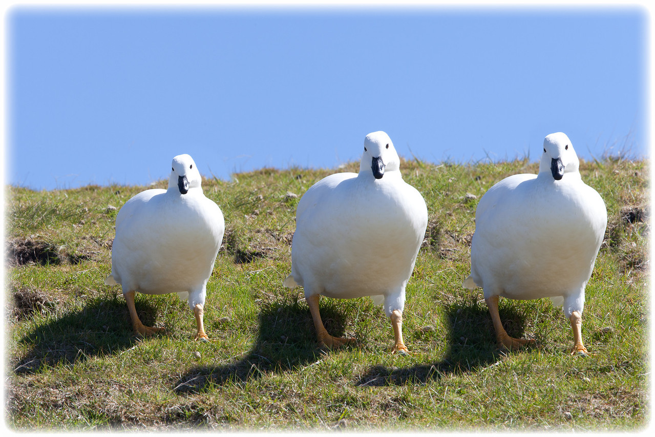 Three greater kelp geese. Actually it's a composite of the same goose.