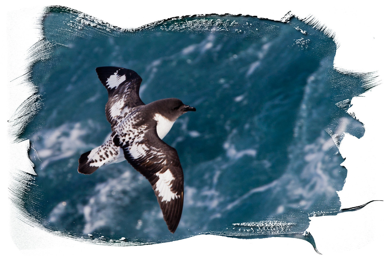 Aren't the markings on these cape petrels striking.
