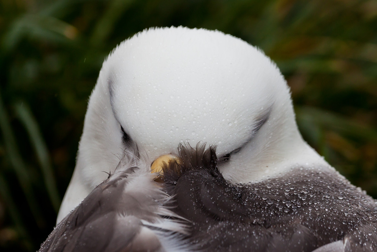 I shared something with this albatross -- we both were trying to shelter ourselves from the rain.