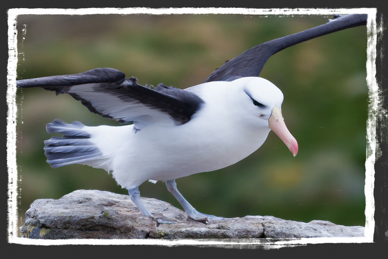 These beautiful birds weigh between 6-10 lbs. and have a wingspan of 6-8 feet.