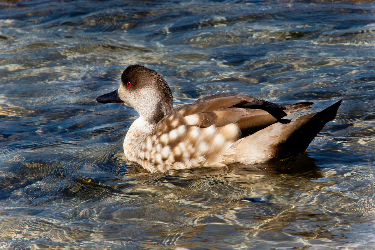 Patagonia crested duck