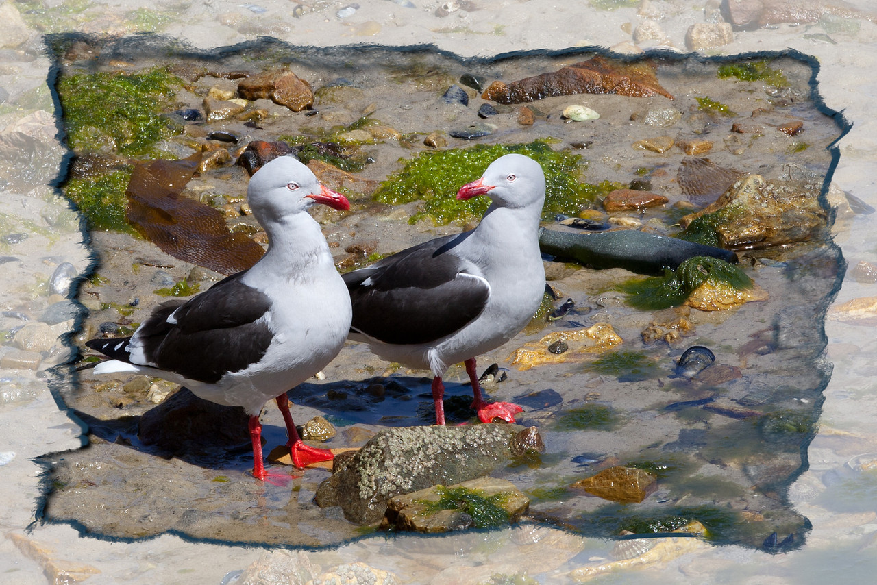 A pair of beautiful gulls in Stanley.