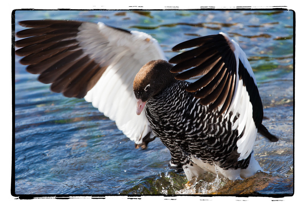 Look at how different the male greater kelp goose is from the female.
