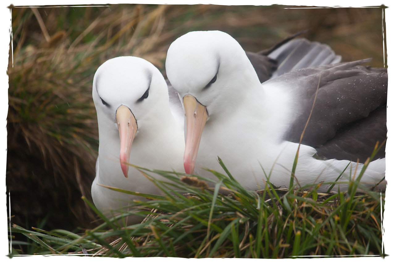Albatrosses come to the Falklands in September and October to breed.