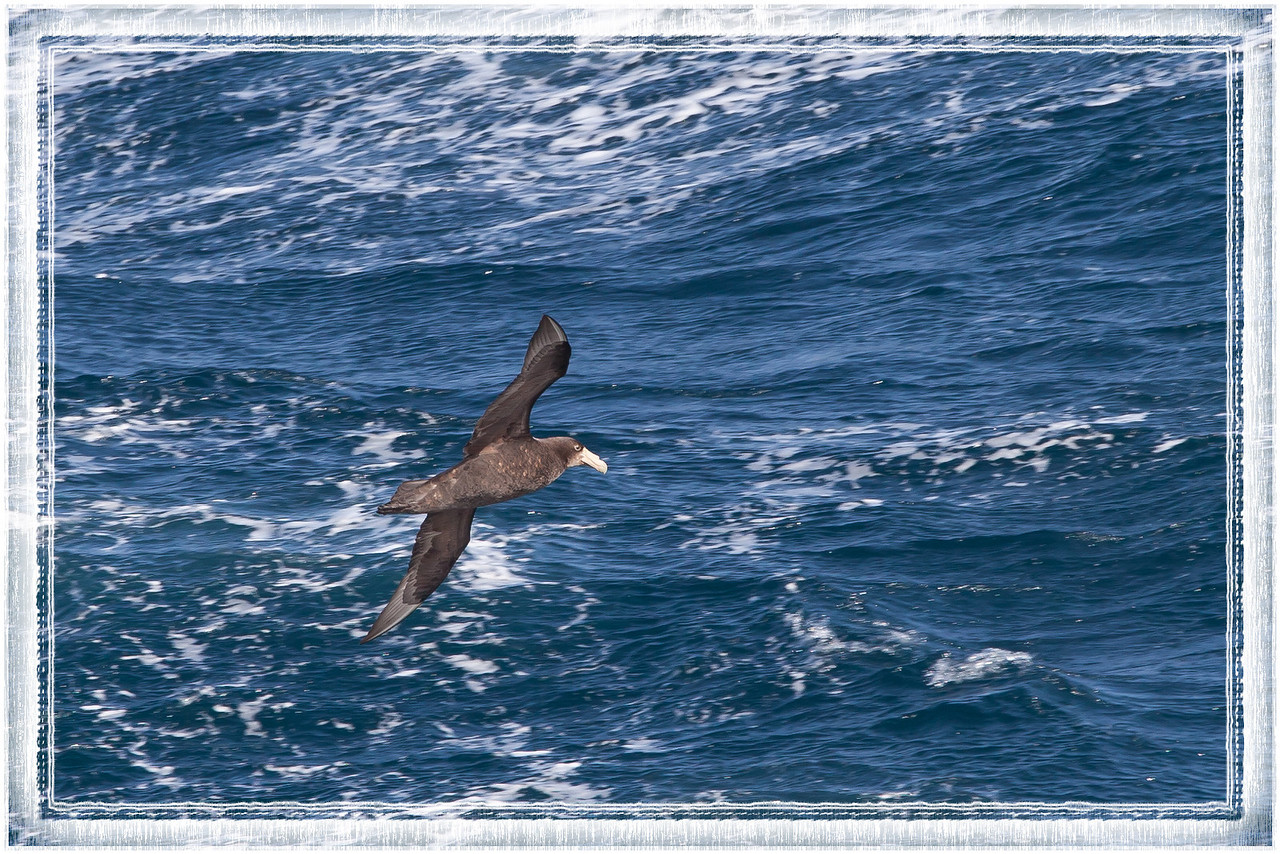 Souther giant petrel following the ship.