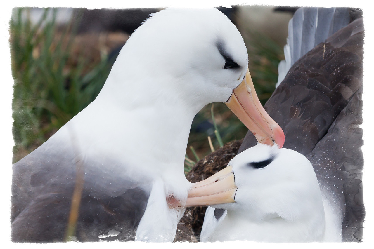 Preening is a major occupatioin of these blackbrowed albatrosses.