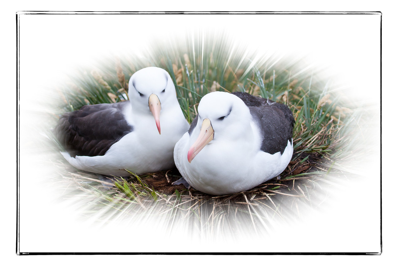 We stood in the tussock grass a few meters from where these albatrosses made their nests. They were undisturbed by our presence.