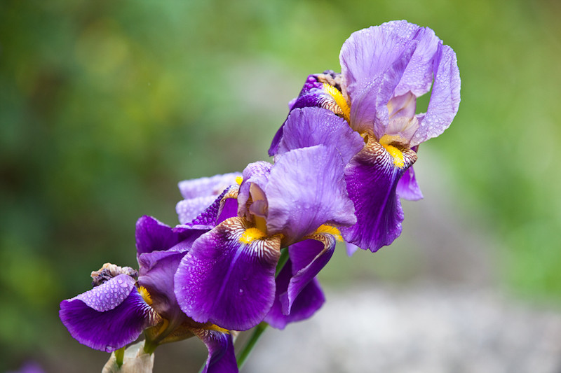 Morning dew on Iris