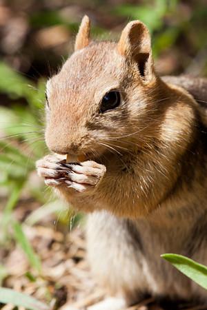 Chipmunk eating lunch