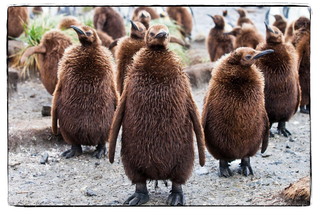 King penguin chicks standing in the rain