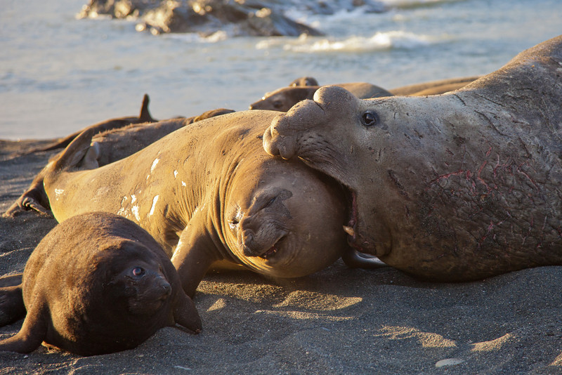 A tender loving bite by the male elephant seal to a member of his harem.