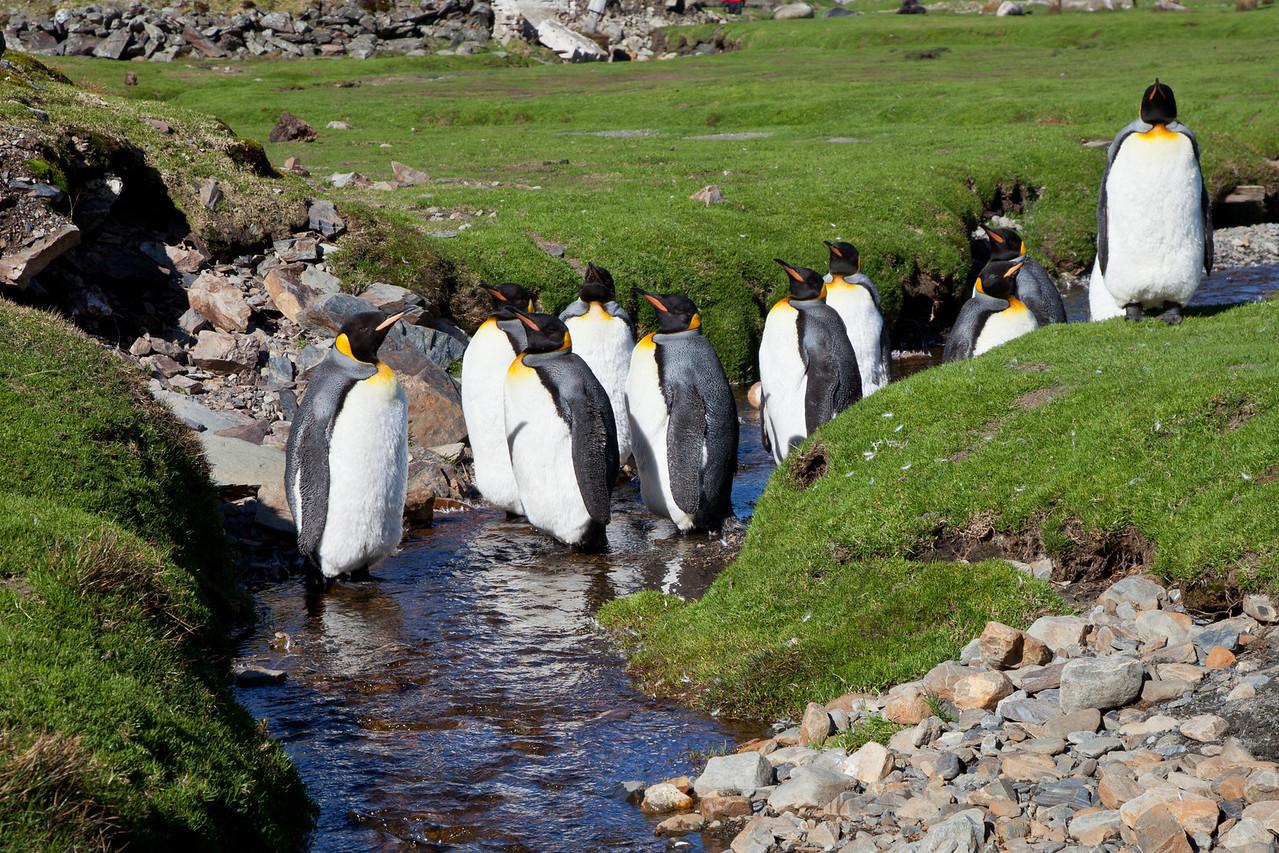 King penguins at Ocean Harbor