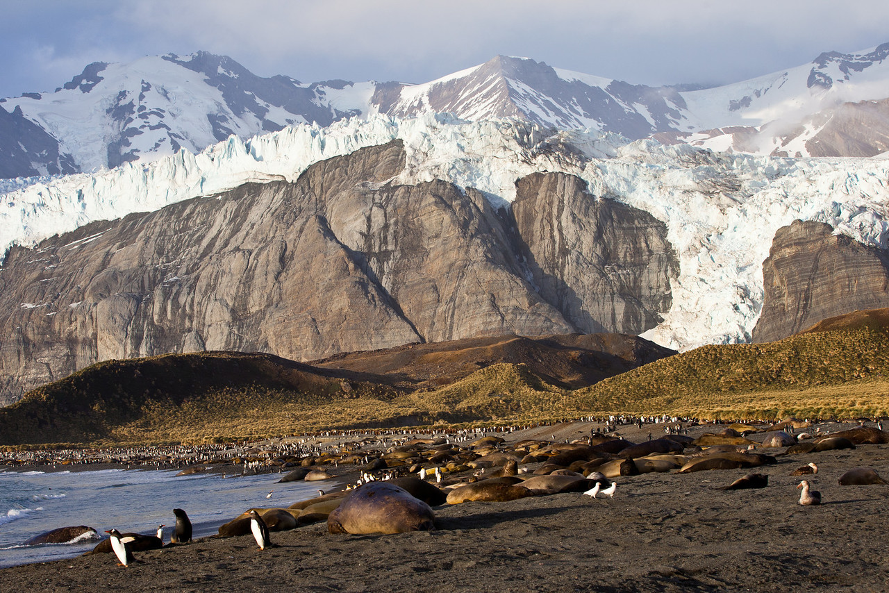 Elephant seals sprawled along the beach with penguins scattered about in the magnificent setting of Gold Harbor.
