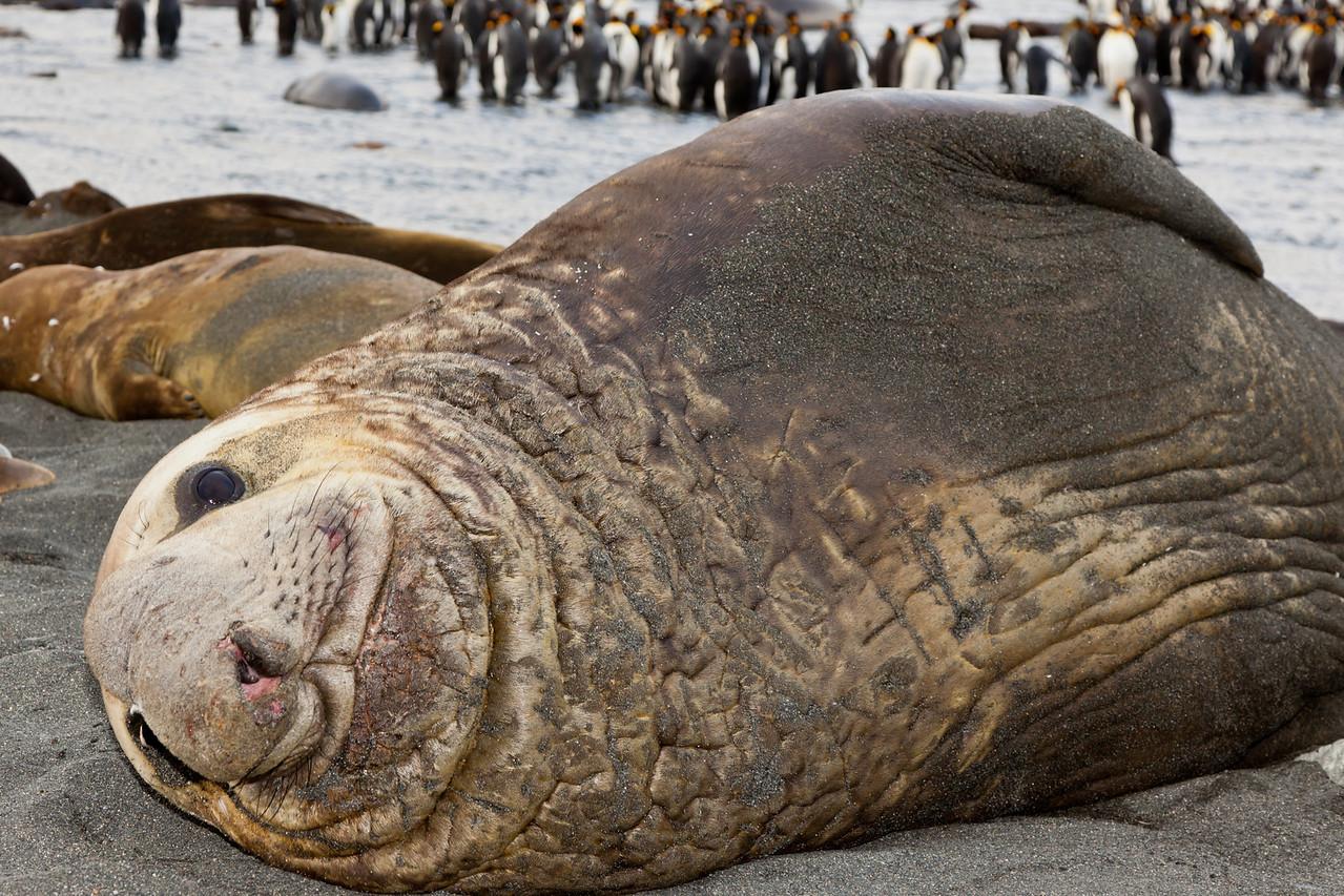 What a beauty (male elephant seal)
