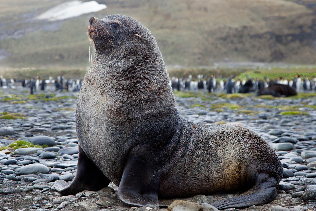 This is a mature fur seal. They're aggressive and will charge you if you get too close.