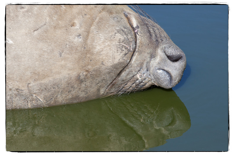 I snuck up on this male elephant seal to capture his reflection while napping.