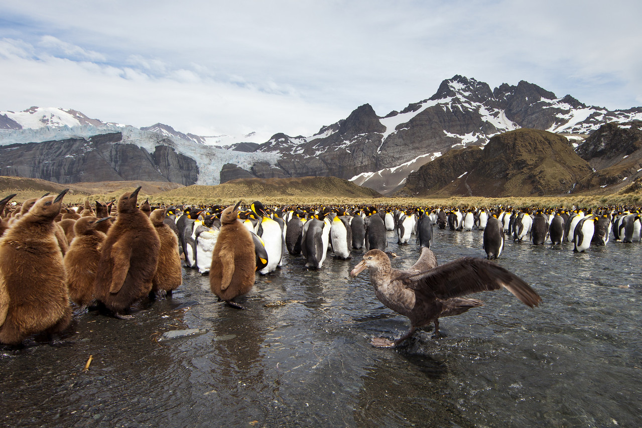 A southern giant petrel preparing to attack a chick.