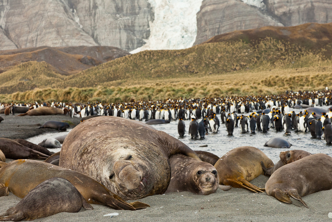 Male elephant seal surrounded by his harem