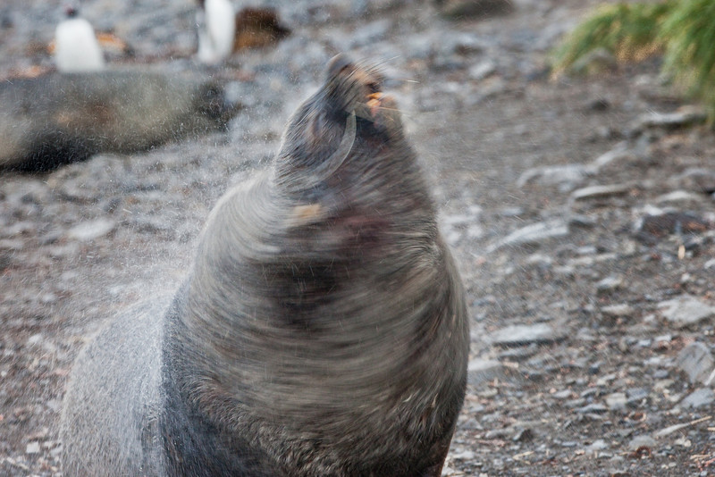 A fur seal shaking the rain water off his fur.