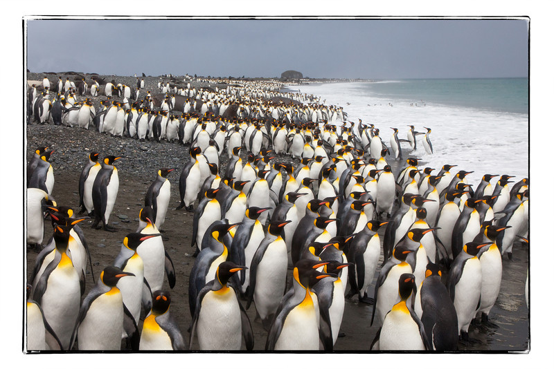 This is Salisbury Plain where a 100,000 pairs of penguins reside, an amazing rookery.