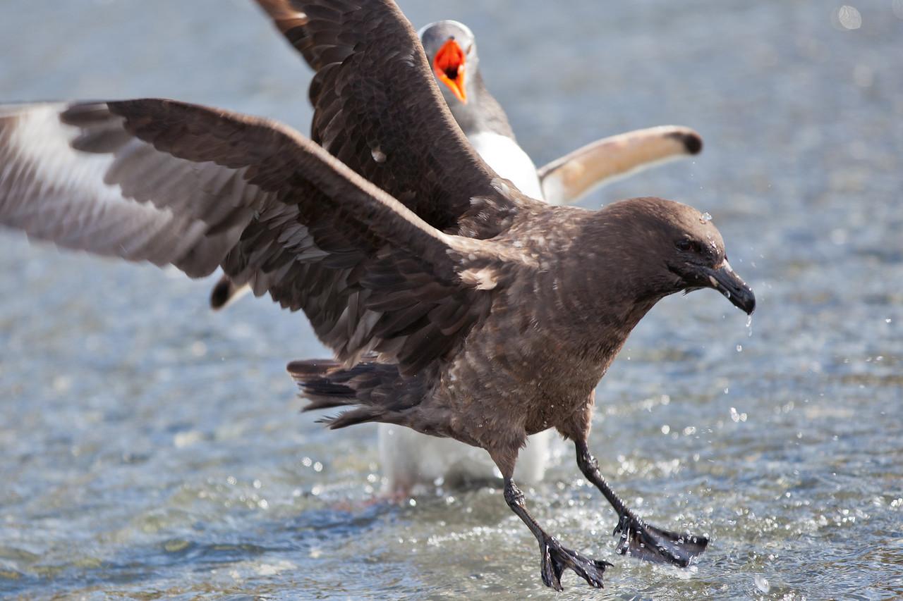A skua landing among the penguins