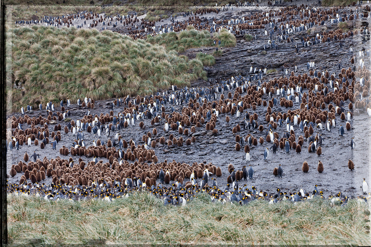 Another view of the king penguin chicks and their parents at Salisbury Plain.