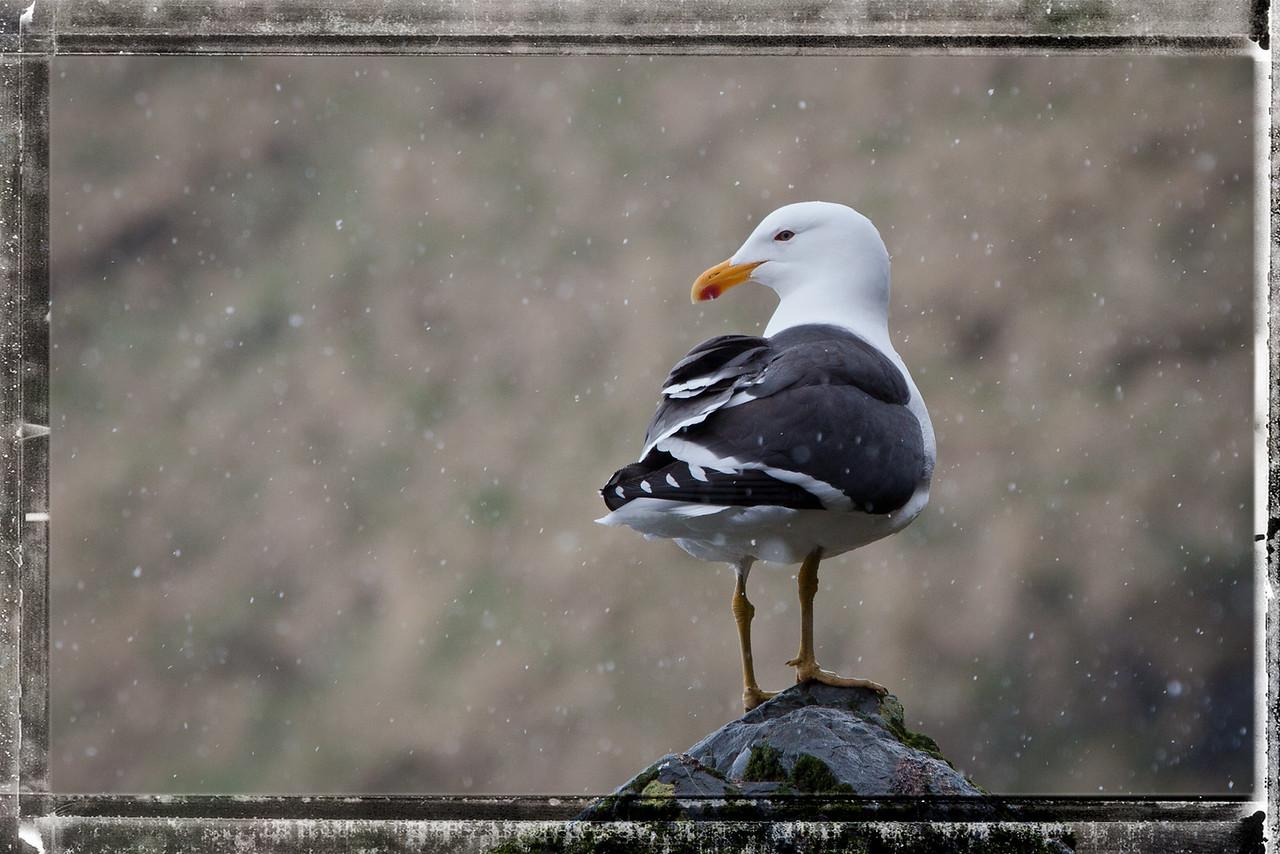 Kelp gull enjoying the snow.