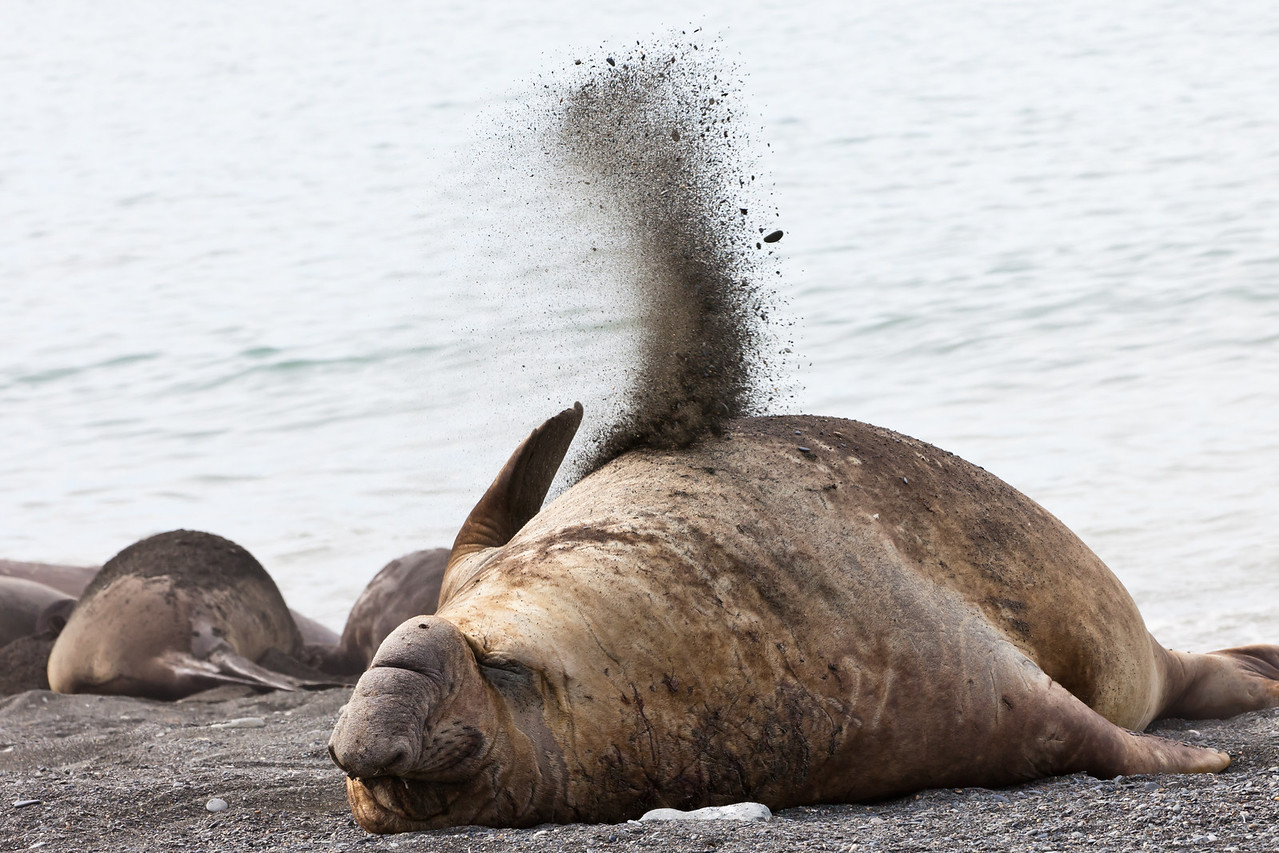 It was relatively warm so this elephant seal flipped dirt on his back to keep cool.