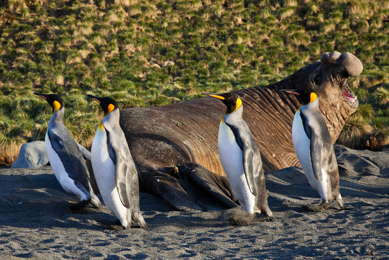 King penguins scurrying past an awakened elephant seal.