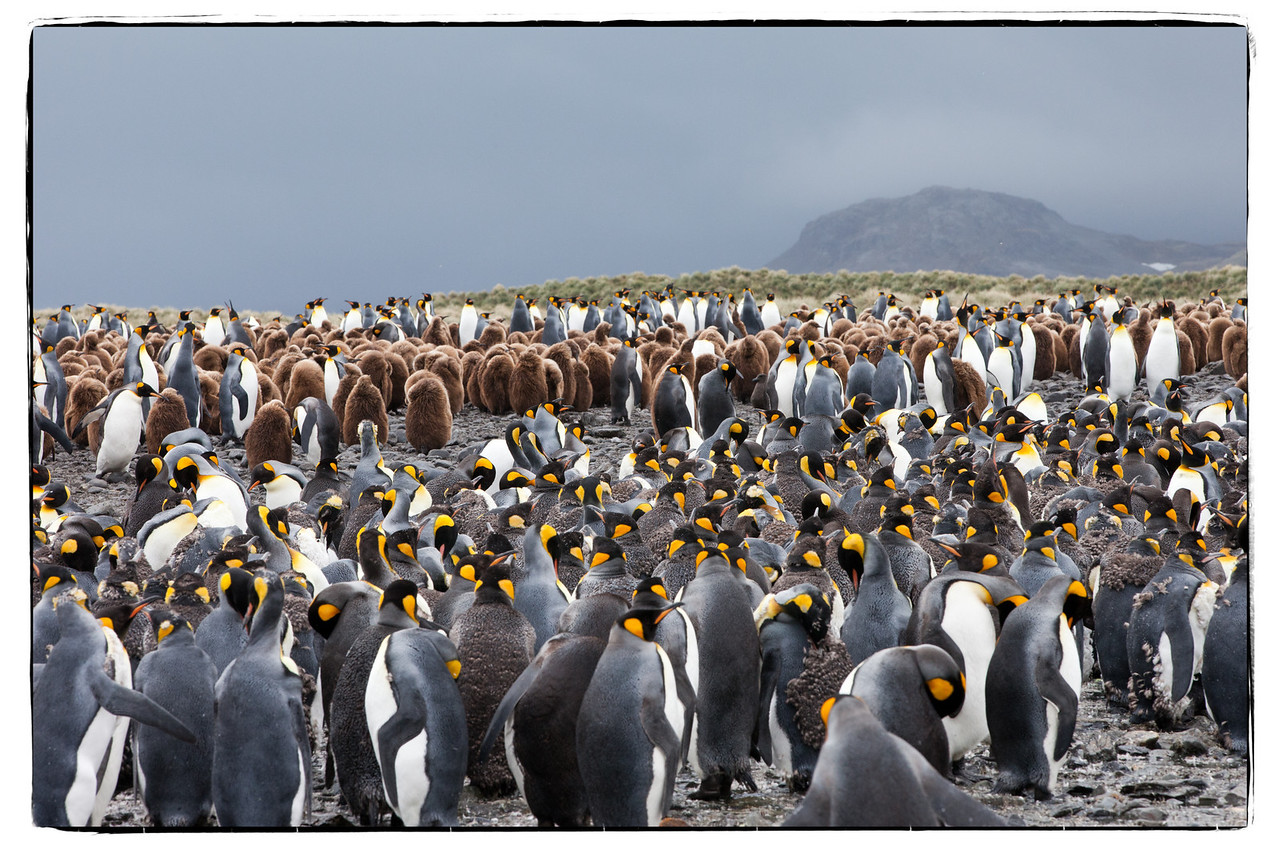 Every direction we looked we saw more and more king penguins.