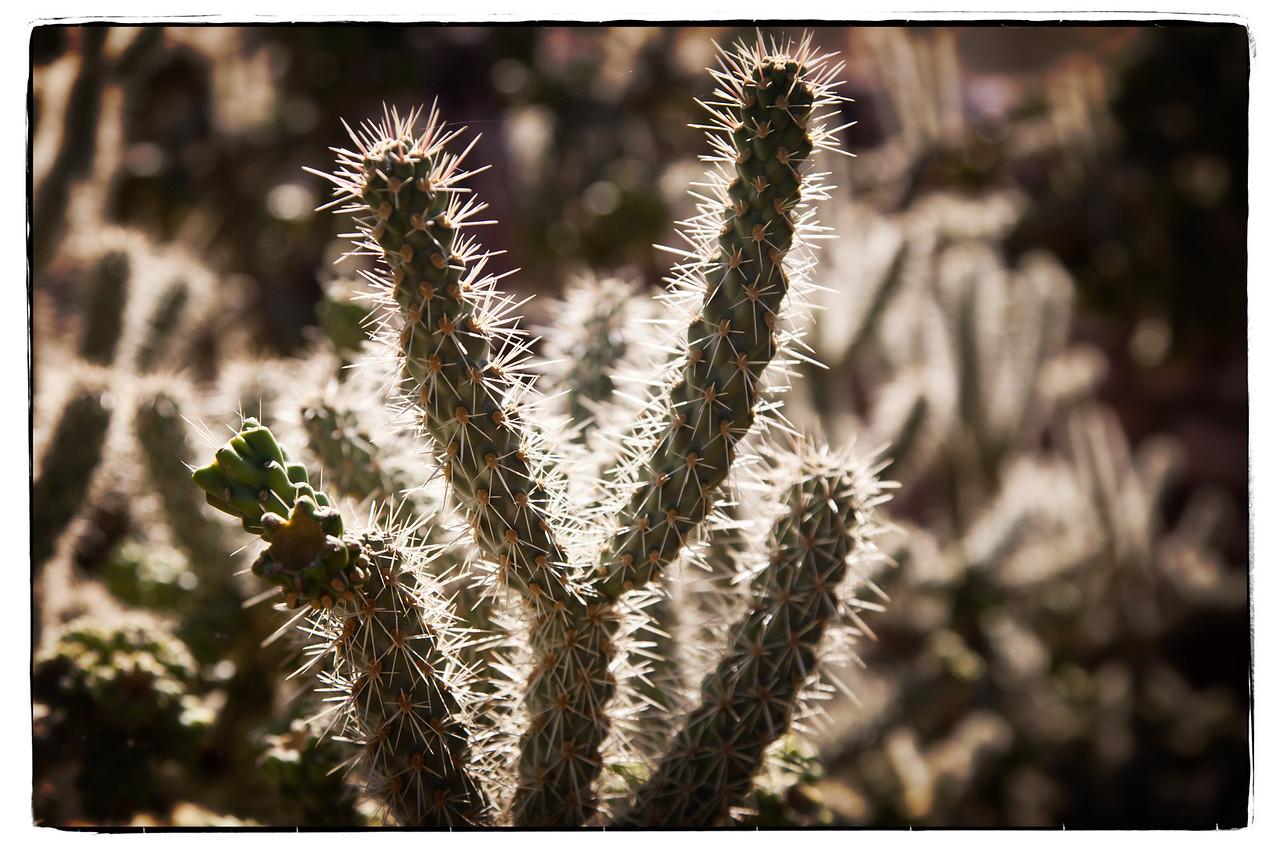 Cholla, a cactus