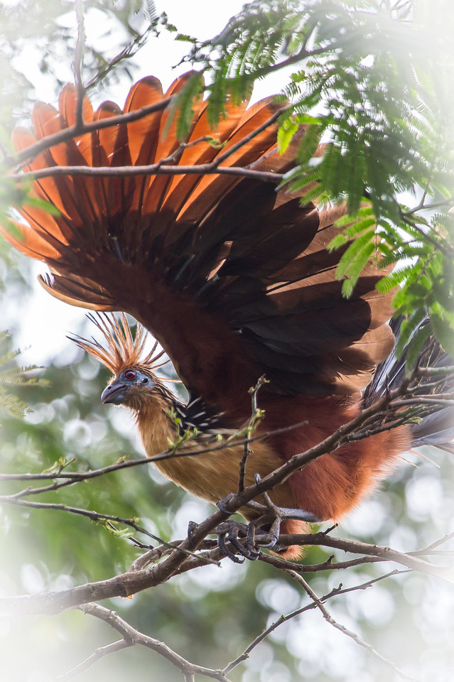 A hoatzin with her feathers fluffed