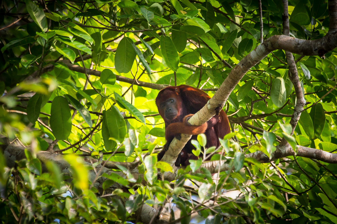 Red howler monkey perched high in a tree.