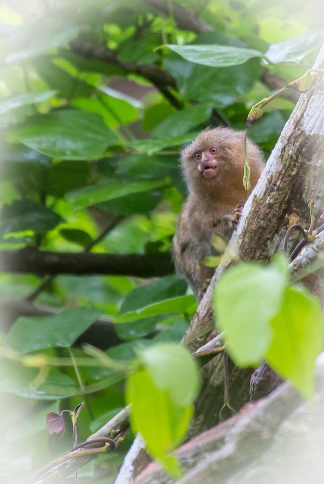 A small pygmy monkey snarling at us.