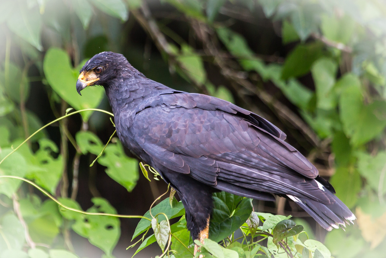 A giant black hawk