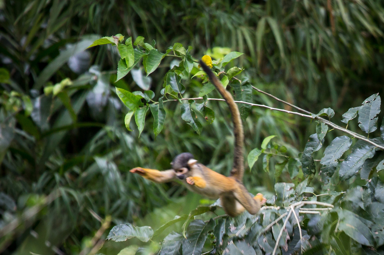 A leaping squirrel monkey.