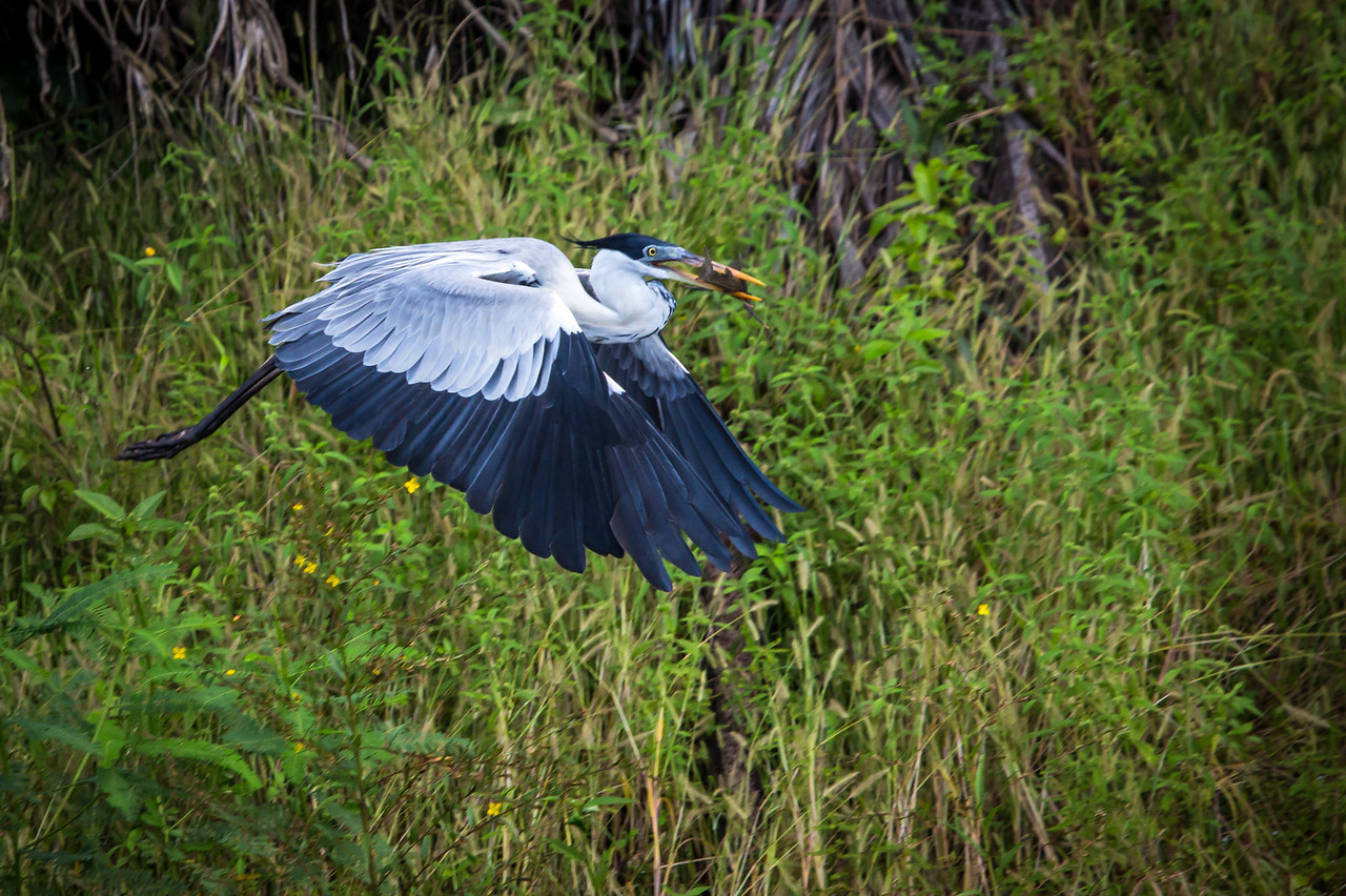 With fish in his beak, this Cocoi Heron is in search of a safe place to have dinner.